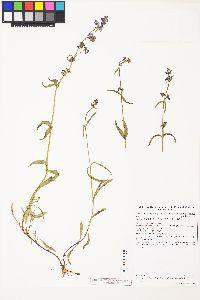 Penstemon procerus var. brachyanthus image