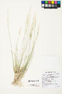 Stipa pinetorum image