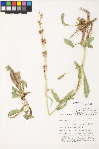Penstemon pahutensis image