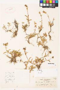 Penstemon procerus var. formosus image