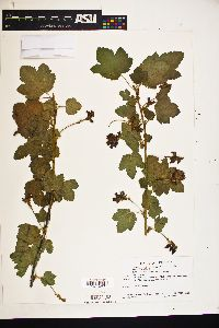 Image of Ribes canthariforme