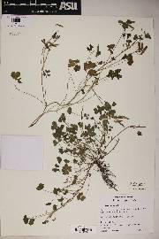 Oxalis albicans image