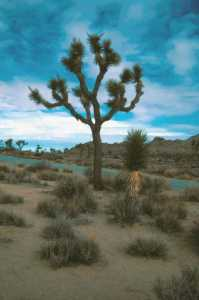 Image of Yucca brevifolia