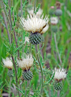 Image of Cirsium tracyi