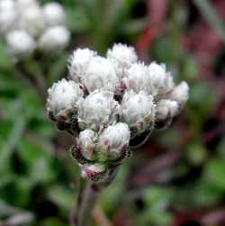 Image of Antennaria marginata