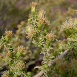 Image of Baccharis pteronioides