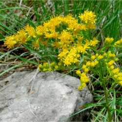 Image of Solidago missouriensis