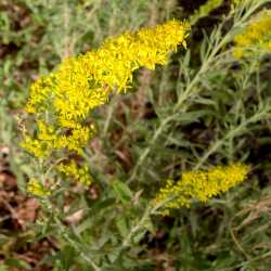 Image of Solidago velutina
