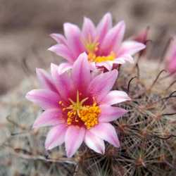 Image of Mammillaria grahamii