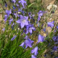 Image of Campanula rotundifolia