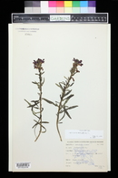 Pedicularis crenulata image