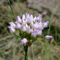 Image of Allium geyeri