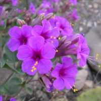 Image of Mirabilis multiflora