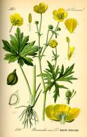 Image of Ranunculus acris