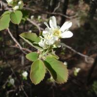 Image of Amelanchier alnifolia