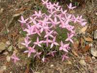 Image of Houstonia rubra