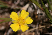 Image of Potentilla concinna