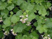 Image of Ribes viscosissimum