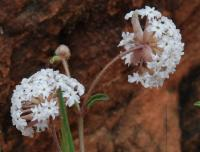 Abronia fragrans image