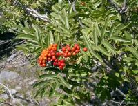 Image of Sorbus scopulina