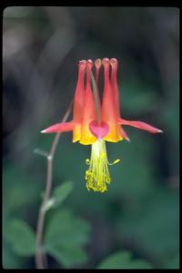 Image of Aquilegia formosa