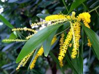 Image of Acacia auriculiformis