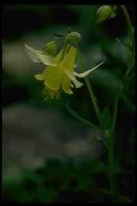 Image of Aquilegia flavescens