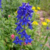 Image of Delphinium barbeyi