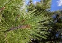 Image of Pinus arizonica