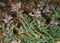 Image of Astragalus nothoxys