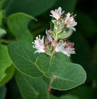 Image of Symphoricarpos occidentalis