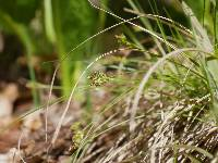 Image of Carex albicans