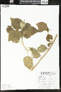 Image of Acalypha cincta