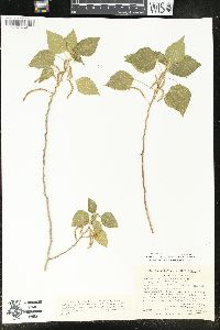 Image of Acalypha comonduana