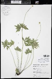 Anemone cylindrica image